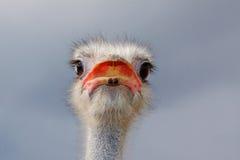 Avestruz masculina (camelus do struthio) Fotos de Stock Royalty Free
