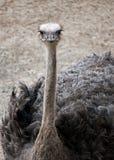 Avestruz masculina (camelus do struthio) Foto de Stock Royalty Free