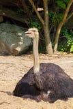 Avestruz masculina, camelus do Struthio Imagem de Stock Royalty Free
