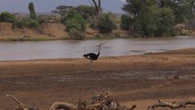 Avestruz masculina nos bancos da reserva Kenya de Muddy Brown River In Samburu, 4K vídeos de arquivo