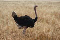 Avestruz masculina que recorre en safari Fotografía de archivo