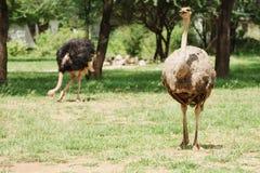 Avestruz masculina y femenina Imagen de archivo libre de regalías