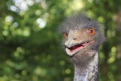 Avestruz muy enojada Fotografía de archivo libre de regalías