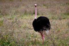 Avestruz na cratera de Ngorongoro Foto de Stock Royalty Free