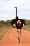 Avestruz na estrada Imagem de Stock Royalty Free