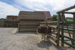 Avestruz na exploração agrícola da avestruz imagem de stock royalty free