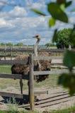 Avestruz na exploração agrícola da avestruz em Yasnohorodka, Ucrânia Foto de Stock