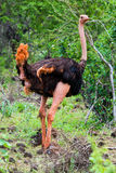 Avestruz no arbusto, Tsavo ocidental, Kenya Imagem de Stock Royalty Free