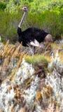 Avestruz no Fynbos Fotos de Stock Royalty Free