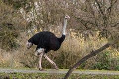 Avestruz no jardim zoológico do parque da floresta do ` s de Seattle Fotografia de Stock