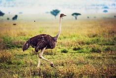 Avestruz no savanna, safari em Tanzânia, África Fotografia de Stock