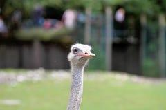 A avestruz, o camelus do Struthio, ou simplesmente a avestruz comum fotos de stock royalty free