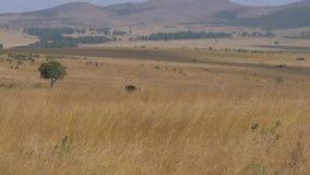 Avestruz ocultada en la alta hierba de la sabana africana, entonces Ran Out To The Side metrajes