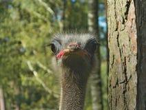A avestruz olha em seus olhos foto de stock royalty free