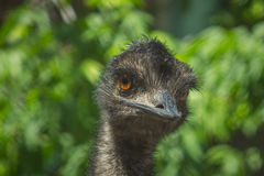 A avestruz olha engraçada Fotografia de Stock