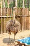 Avestruz, os pássaros flightless os maiores Imagens de Stock Royalty Free