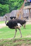 Avestruz ou avestruz comum Fotos de Stock Royalty Free