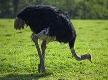 Avestruz preta que bica na terra Imagens de Stock Royalty Free