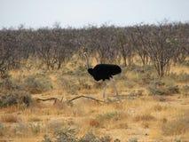 Avestruz que anda em torno do savana Imagem de Stock