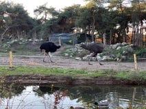 Avestruz que anda pela água imagem de stock