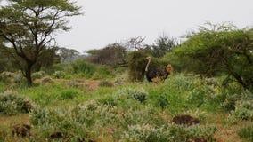 Avestruz que camina en un matorral de arbustos y de árboles del acacia de la sabana africana almacen de metraje de vídeo