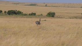 Avestruz que camina a través de la sabana africana almacen de metraje de vídeo