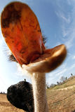 Avestruz que come a câmera imagem de stock royalty free