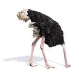 Avestruz que entierra a la cabeza en arena que ignora problemas Imagenes de archivo