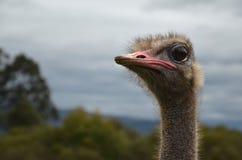 Avestruz que mira a la izquierda Imagen de archivo libre de regalías