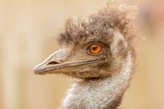 Avestruz que mira a un lado el parque del safari Fotografía de archivo libre de regalías