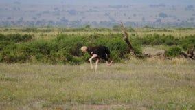 Avestruz que pasta en la fauna africana de la sabana almacen de metraje de vídeo