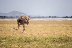 Avestruz que pasta no parque nacional de Amboseli (Kenya) Fotos de Stock