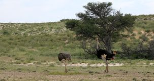 Avestruz safari dos animais selvagens em Kalahari verde, ?frica filme
