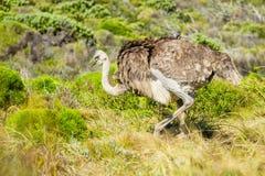 Avestruz en el salvaje Fotografía de archivo libre de regalías