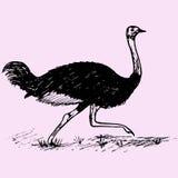avestruz selvagem Fotos de Stock