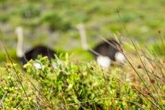 Avestruz no selvagem fotografia de stock royalty free