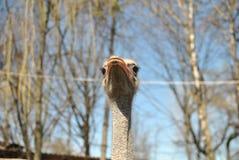 Avestruz solitaria Foto de archivo libre de regalías