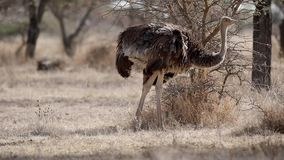 Avestruz somalí que alimenta en campo