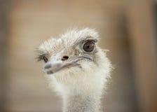 Avestruz sorprendida de la mirada Fotografía de archivo