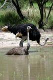 A avestruz tem um banho Imagens de Stock