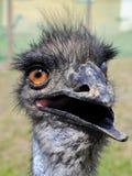Avestruz tonta Foto de archivo libre de regalías