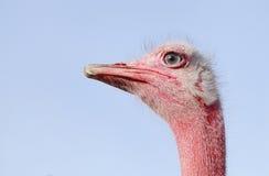 Avestruz vermelha bonita que olha fixamente na câmera Imagens de Stock Royalty Free