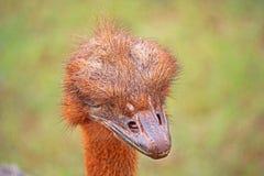 Avestruz vermelha que procura comunicados foto de stock