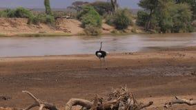 Avestruz Walkes en la orilla del río en el coto de la sabana africana almacen de metraje de vídeo