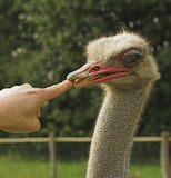 Avestruz y dedo Fotografía de archivo libre de regalías