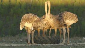 avestruzes filme