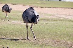 avestruzes Foto de Stock