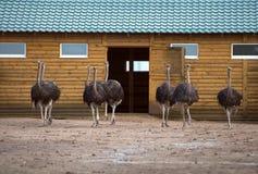 avestruzes Imagem de Stock