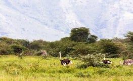 Avestruzes dentro da cratera de Ngorogoro Foto de Stock Royalty Free