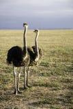 Avestruzes em África do Sul Fotografia de Stock